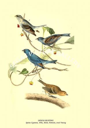 INDIGO BUNTING - Spiza Cyanea, Wils, Male, Female, and Young